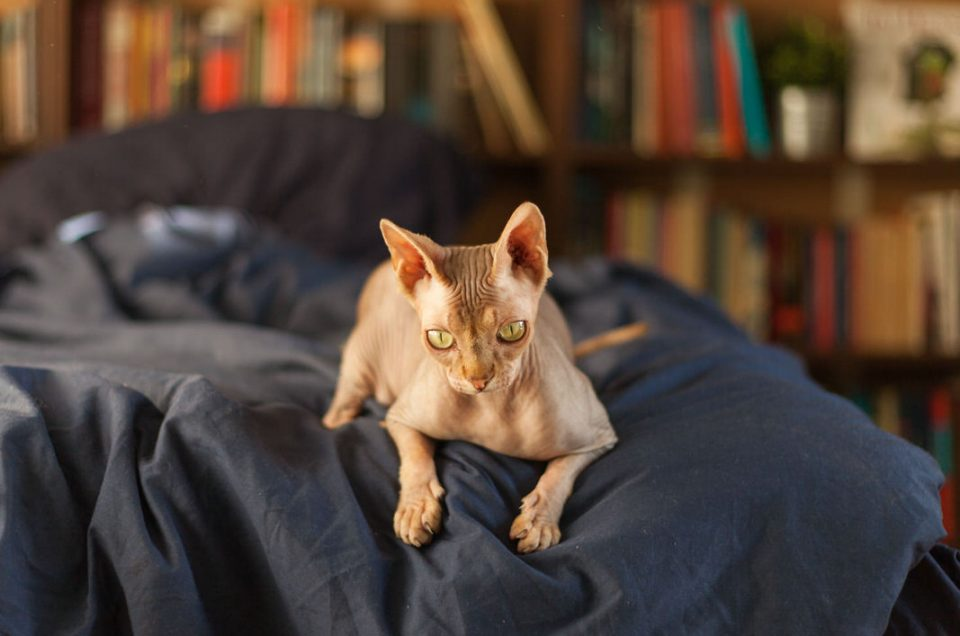 Fotosessie thuis met twee sphynx katten